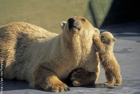 osos polares humor imagenes hielo 34