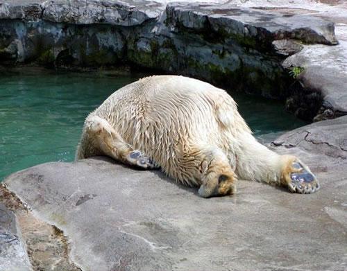osos polares humor imagenes hielo 36