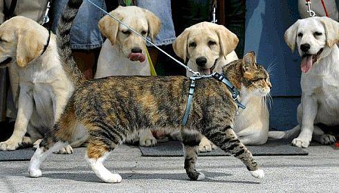 animales risa gato desfilando perros