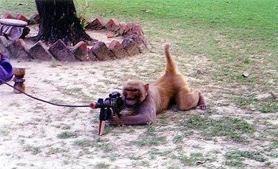 animales risa mono ametralladora