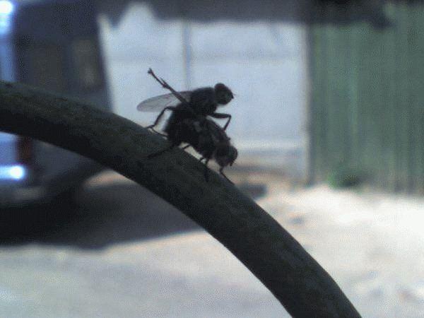 animales risa moscas copulando