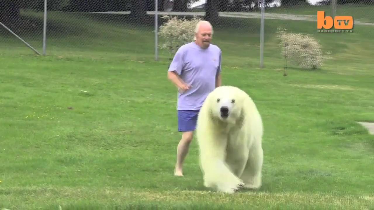 oso polar jugando hombre 2