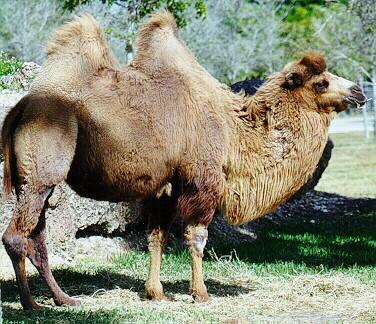 camello-jorobas