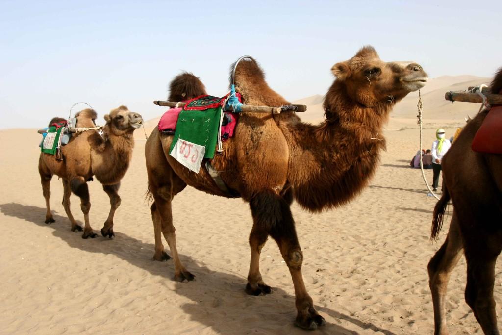 camellos-baktiares-desierto-ruta-de-la-seda-nomada-xinjiang