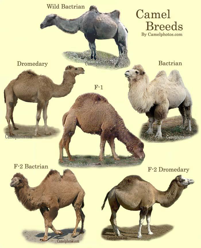 jorobas-camellos-camel-breeds-breed-camels
