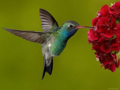 Colibri bis