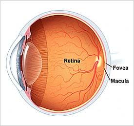 ojo retina fovea macula