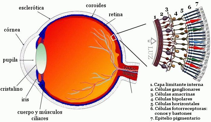 partes ojo retina celulas