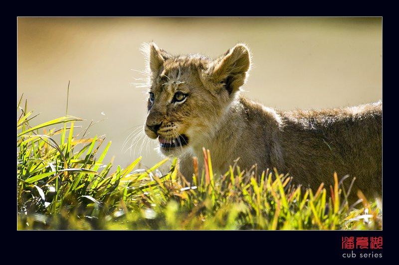 postales cachorros leones crias 35