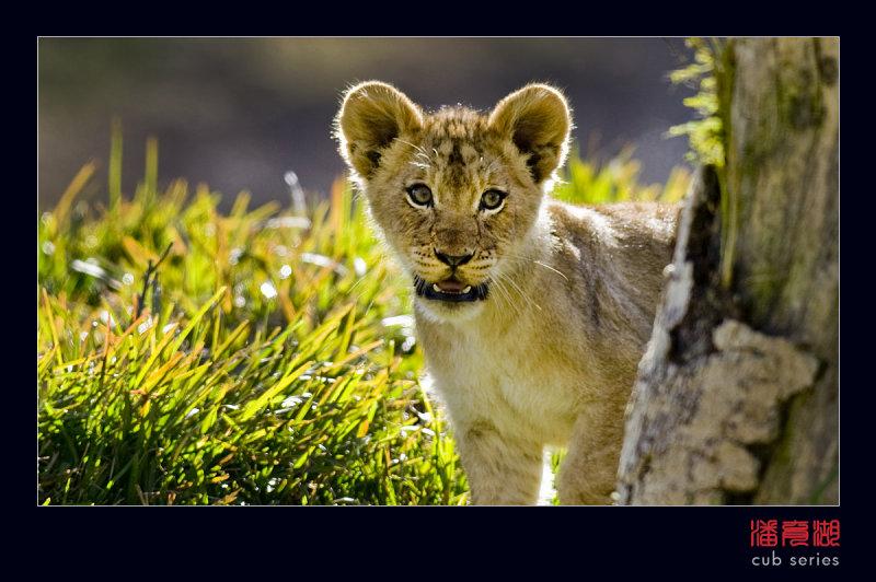 postales cachorros leones crias 36