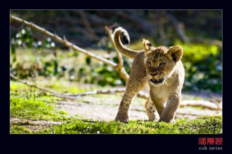 postales cachorros leones crias 37