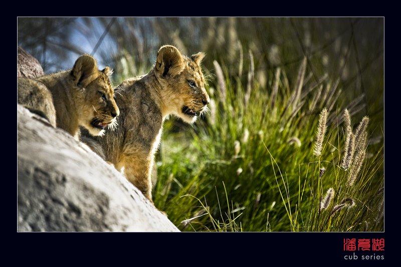 postales cachorros leones crias 38
