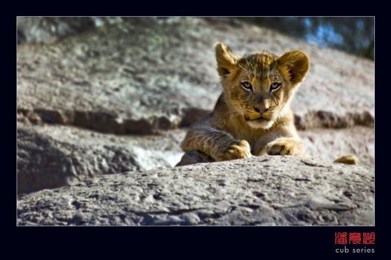 postales cachorros leones crias 39