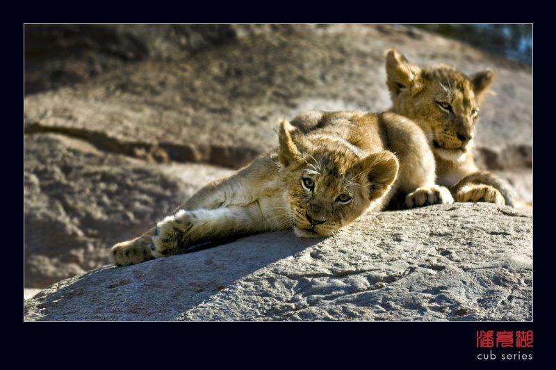 postales cachorros leones crias 40