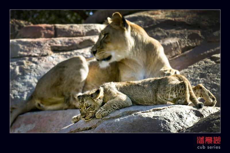postales cachorros leones crias 41