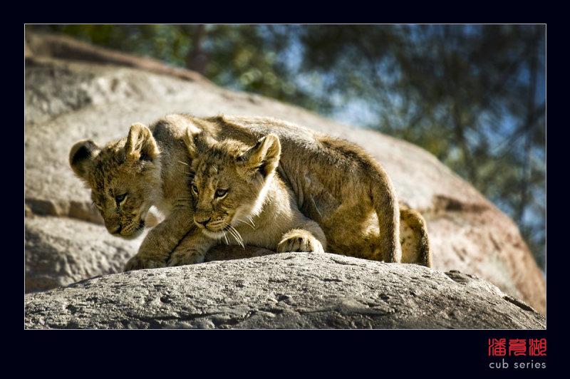 postales cachorros leones crias 42
