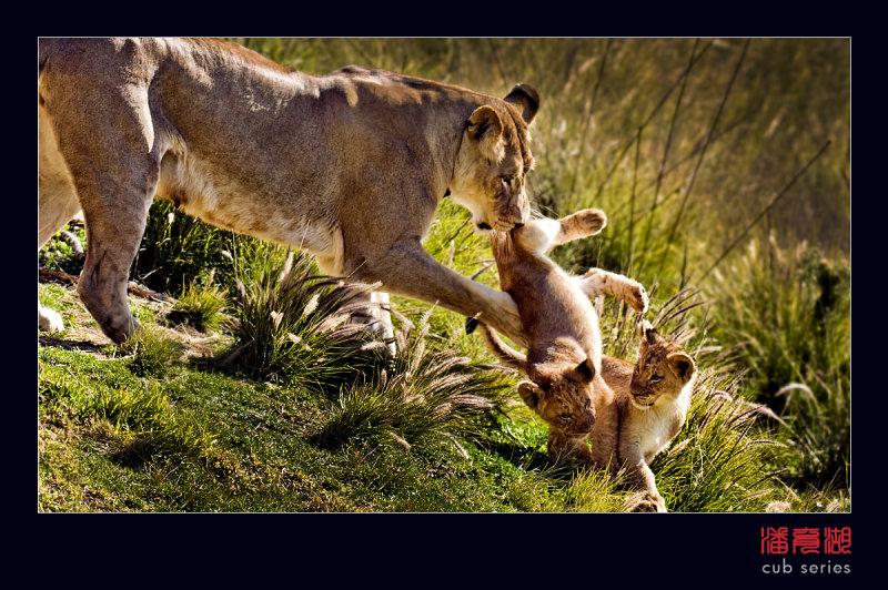 postales cachorros leones crias 43