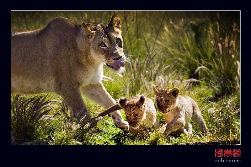 postales cachorros leones crias 44