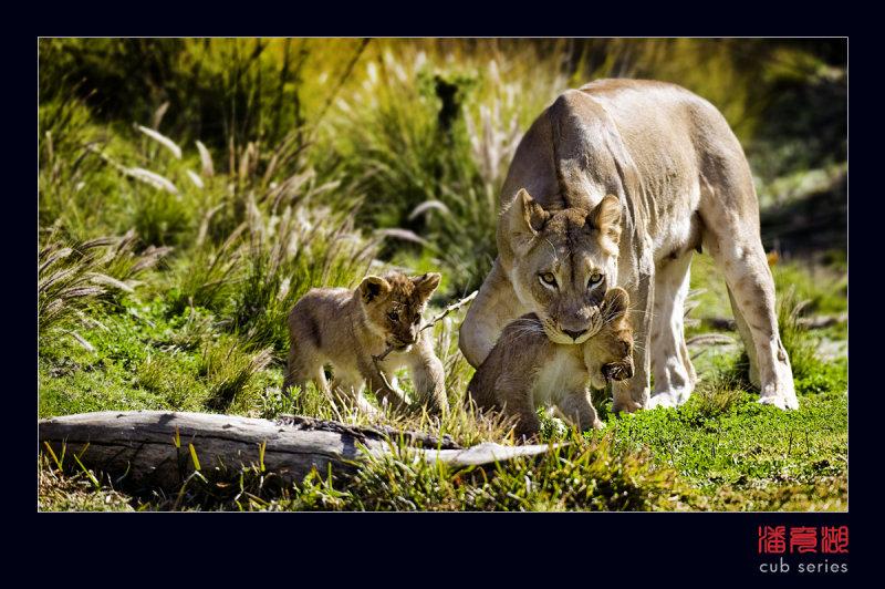 postales cachorros leones crias 45