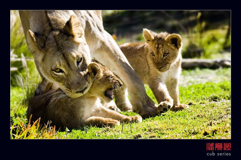postales cachorros leones crias 46