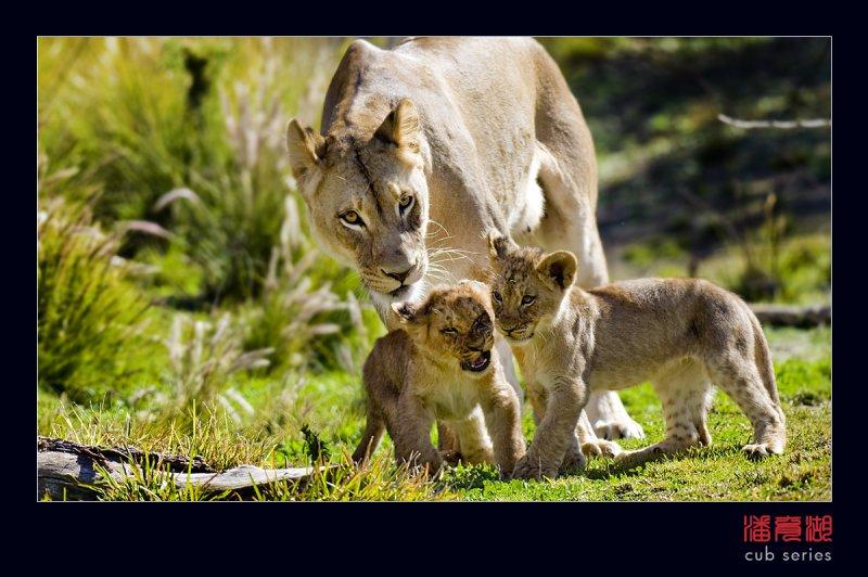 postales cachorros leones crias 47