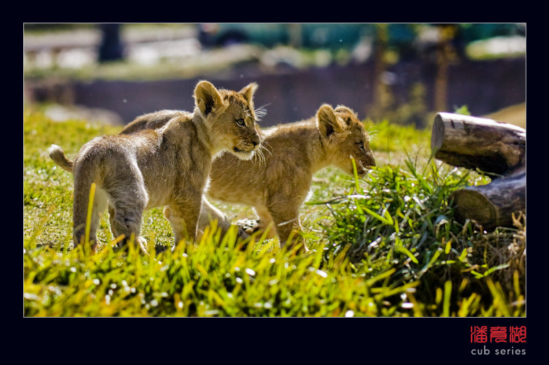 postales cachorros leones crias 48