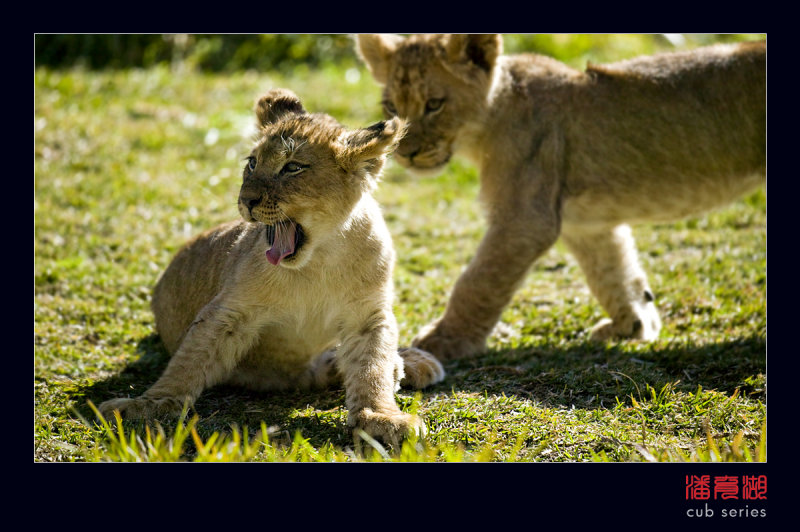 postales cachorros leones crias 49