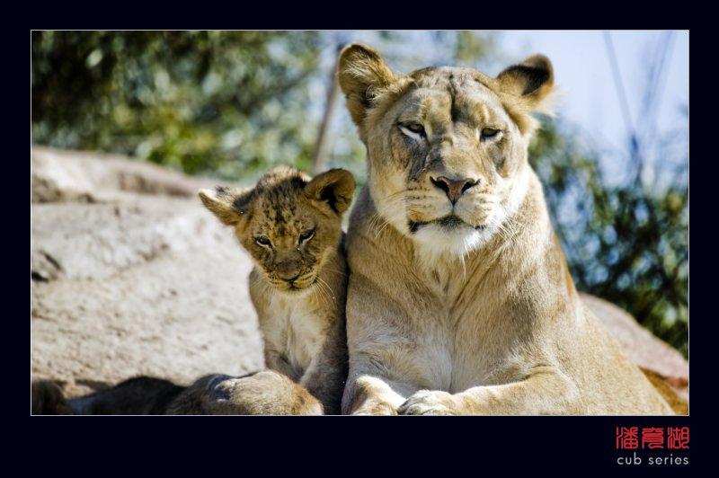 postales cachorros leones crias 50