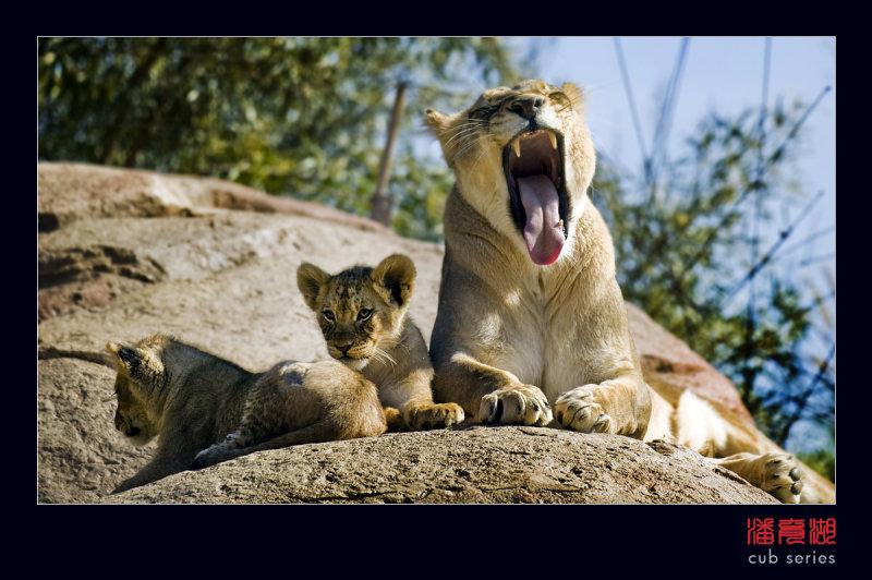 postales cachorros leones crias 51