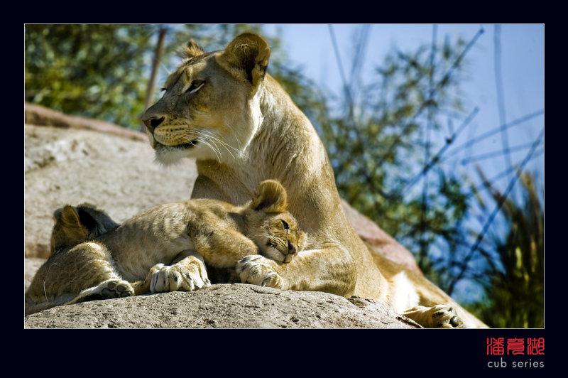 postales cachorros leones crias 52