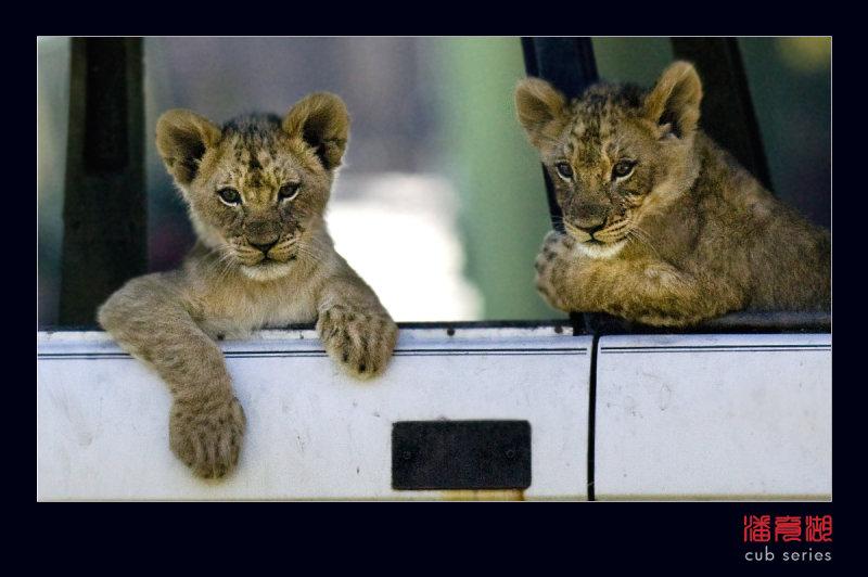 postales cachorros leones crias 53