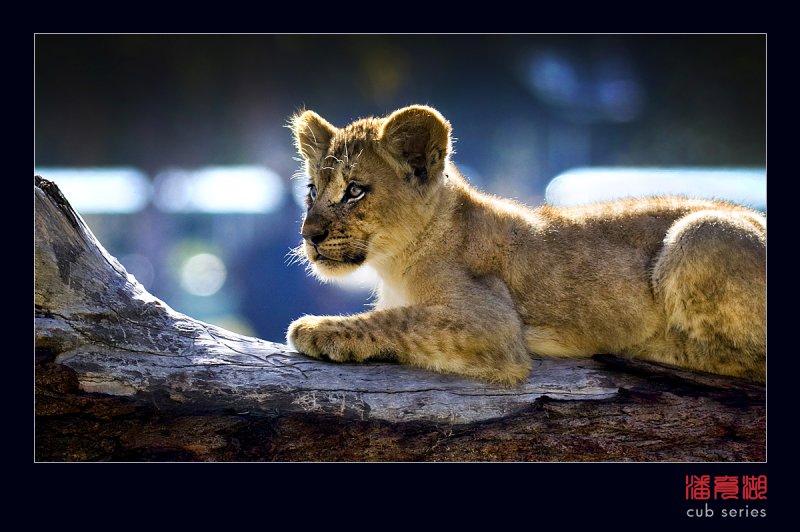 postales cachorros leones crias 54