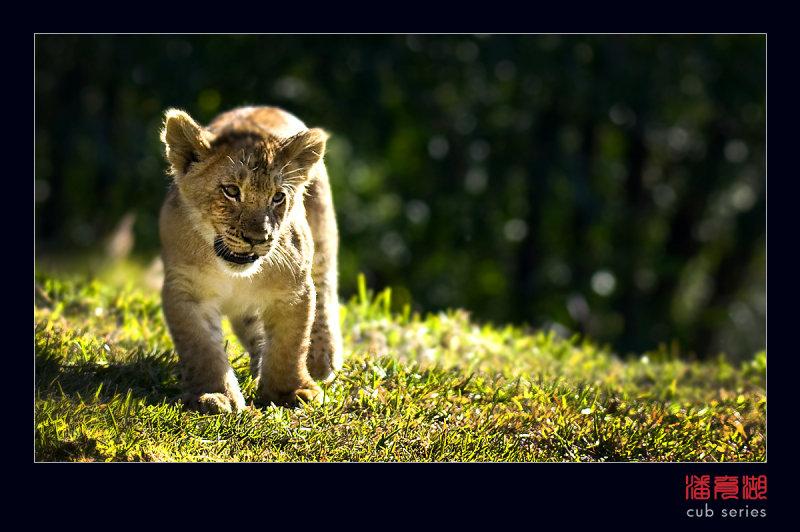 postales cachorros leones crias 55
