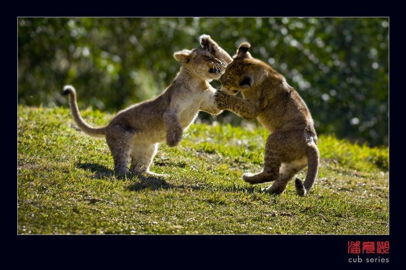 postales cachorros leones crias 56