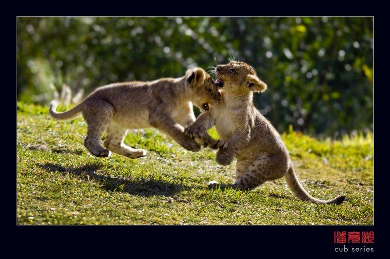 postales cachorros leones crias 57