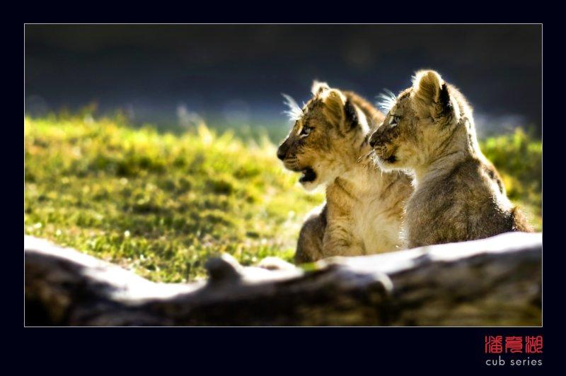 postales cachorros leones crias 58