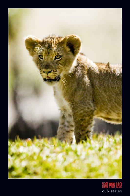 postales cachorros leones crias 59