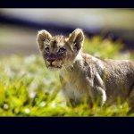 Postales de la naturaleza: Cachorros de león
