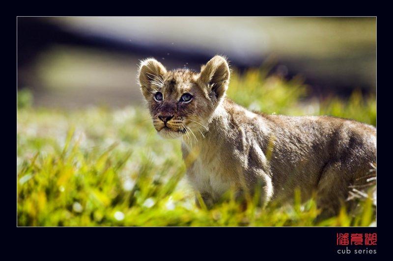 postales cachorros leones crias 60