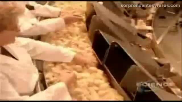 cria masiva pollos fabrica 14
