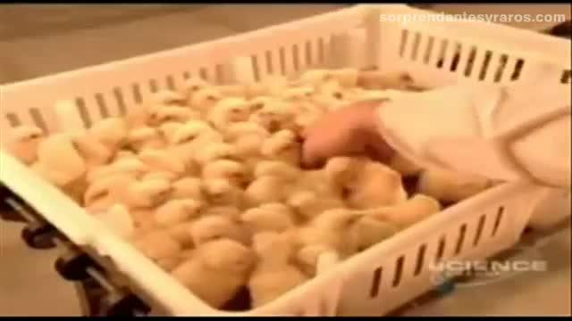 cria masiva pollos fabrica 17
