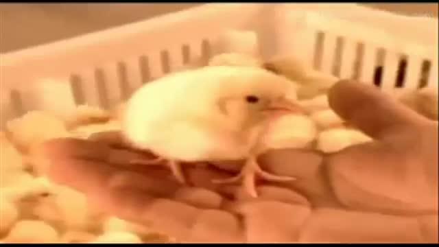 cria masiva pollos fabrica 18