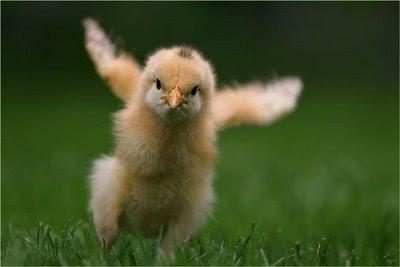 pollito corriendo prado