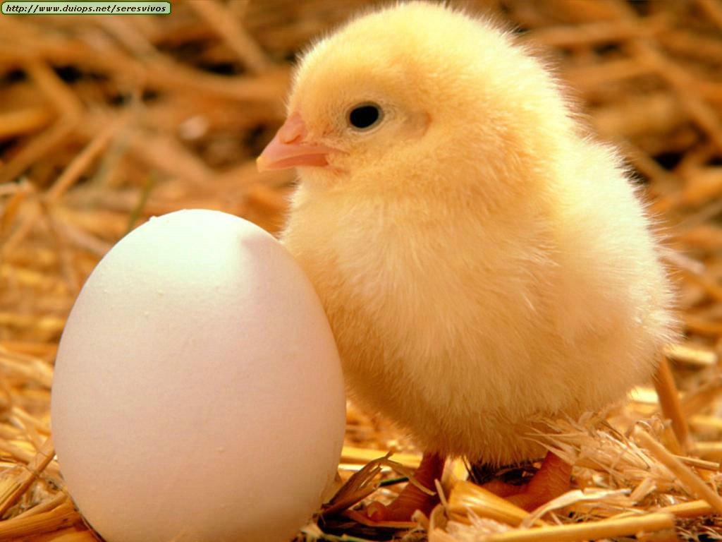 pollito huevo