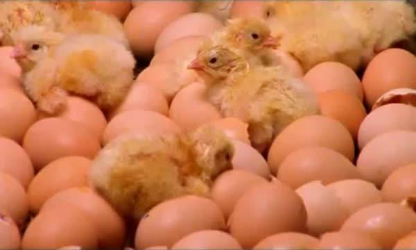 pollitos pollos factoria fabrica 2