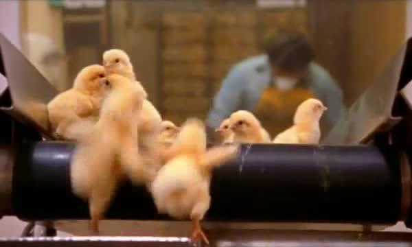 pollitos pollos factoria fabrica 3