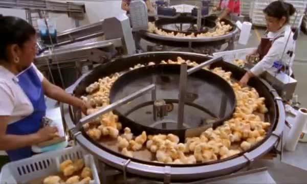 pollitos pollos factoria fabrica 7