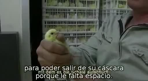 pollos pollitos fabrica denuncia crianza 23