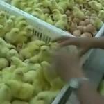 Cría masiva de pollos