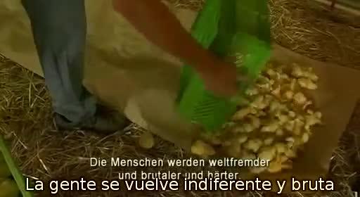 pollos pollitos fabrica denuncia crianza 28